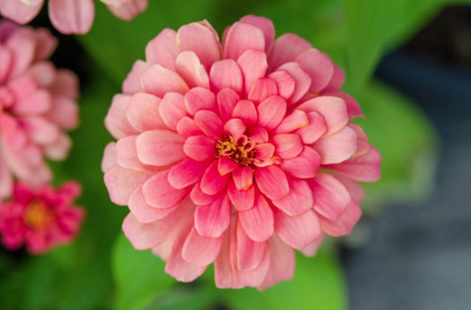 Koje se cvijeće sije u proljeće - cinija