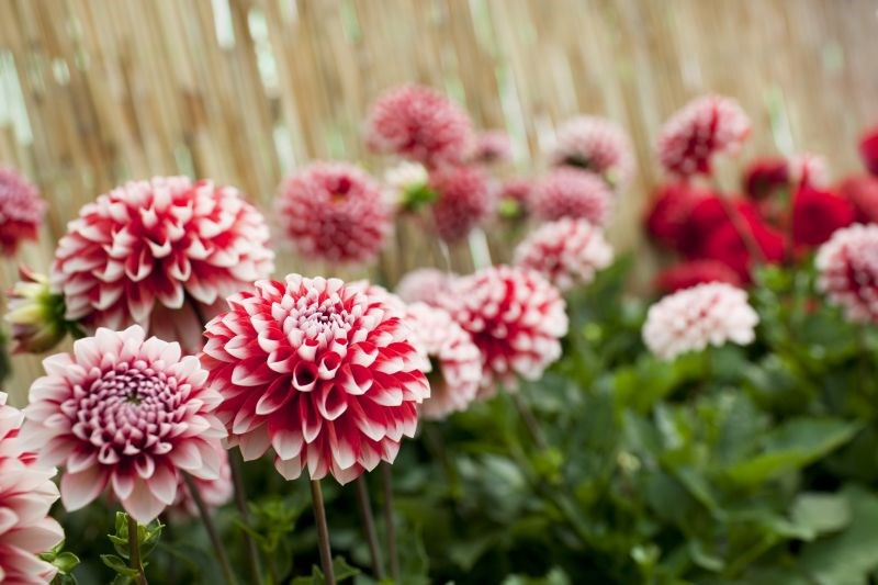 Koje se cvijeće sadi u proljeće - dalije