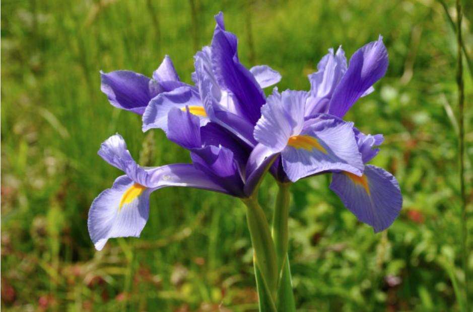 Koje se cvijeće sadi u proljeće - irisi