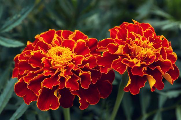 Koje se cvijeće sije u proljeće - kadifice